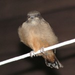 Young Say's Phoebe