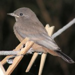 Young Say's Phoebe between clothes pins