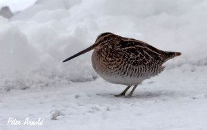 Wilson's Winter Snipe copyright Peter Arnold