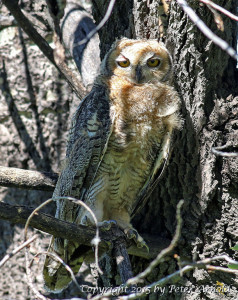 Great Horned Owlet by Peter Arnold