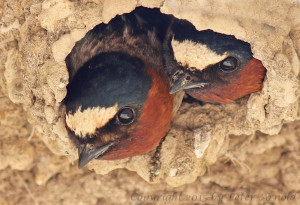 Cliff Swallows by Peter Arnold