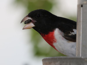 20160524 Rose-breasted Grosbeak 5